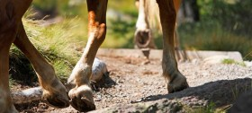 Reiten auf Haflingerpferden