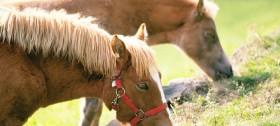 Die Haflinger Pferde am Reiterhof Sulfner