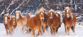 Haflinger Pferde im Hotel Sulfner