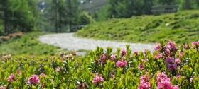 Wandern durch die Alpenrosenblüte im Wandergebiet Meran 2000