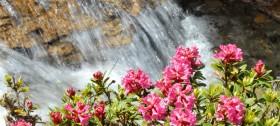 Die Alpenrosenblüte in Südtirol ist ein echtes Naturschauspiel